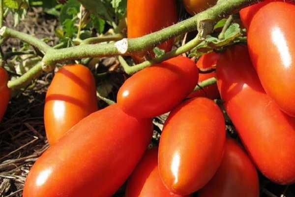 10 самых урожайных низкорослых сортов томатов для открытого грунта в средней полосе