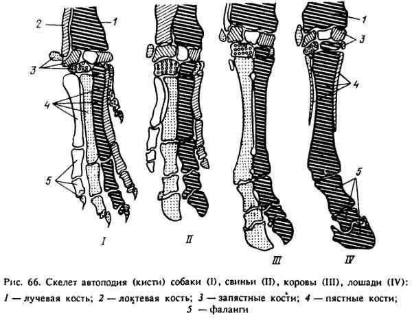 Скелет лошади: особенности строения, форма черепа, количество костей