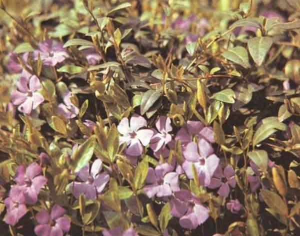 Лечебные свойства травы барвинок и применение