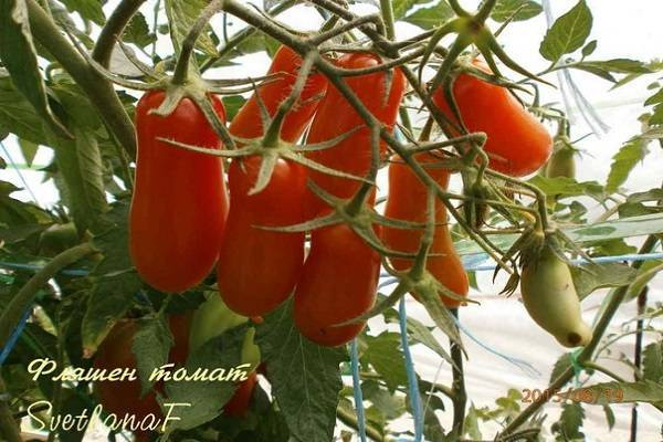 Характеристика и описание томата фляшентоматен, агротехника выращивания