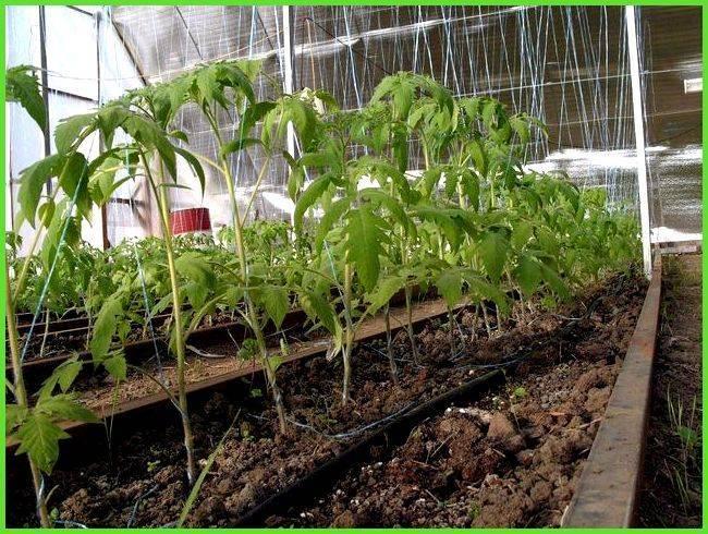 Посадка помидоров в теплице из поликарбоната: этапы подготовки и специфика выращивания рассады