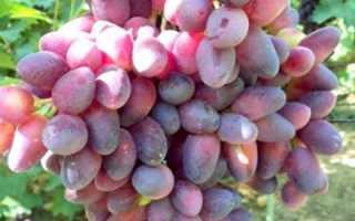 Виноград красотка: особенности сорта и правила ухода