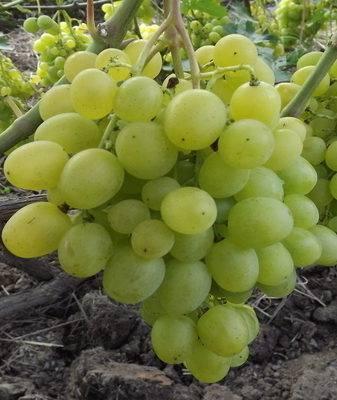 Особенности сверхраннего винограда супер экстра