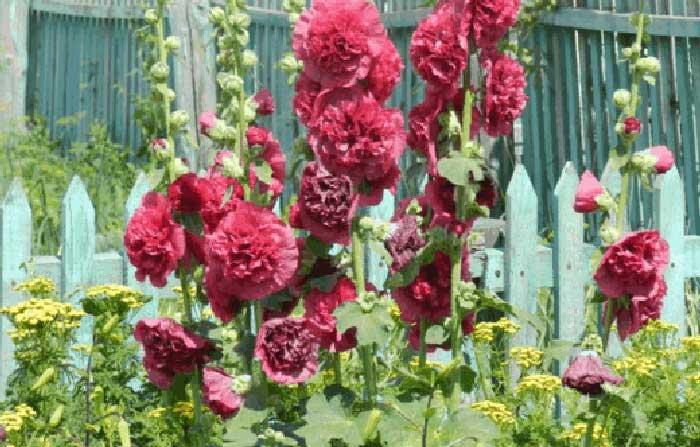 Шток-роза или просто мальва: посадка и уход