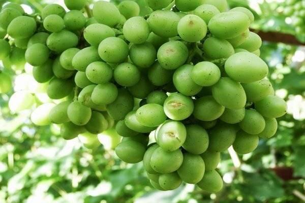 Описание и история селекции винограда сорта Гурман, выращивание и уход