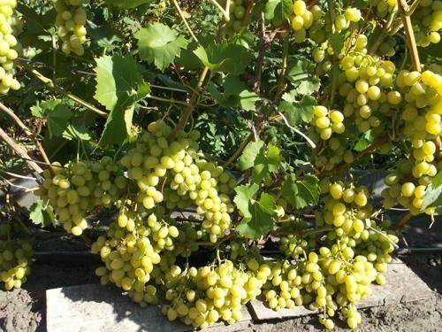 Виноград ланселот: описание сорта, фото, отзывы