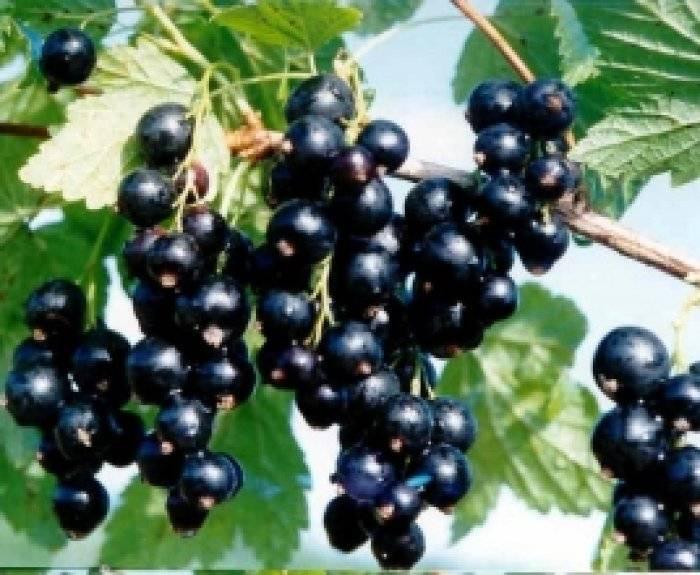 Чёрная смородина селеченская — крупноплодный сорт с отличным вкусом