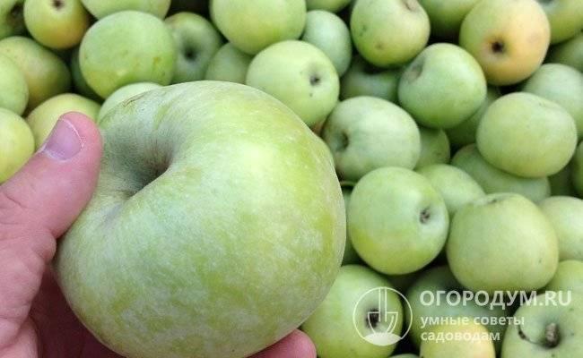 Яблоня чудное: особенности сорта и ухода
