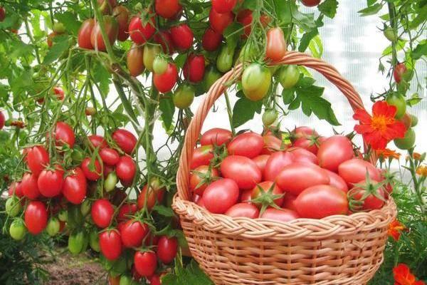 Томат петруша огородник характеристика и описание сорта