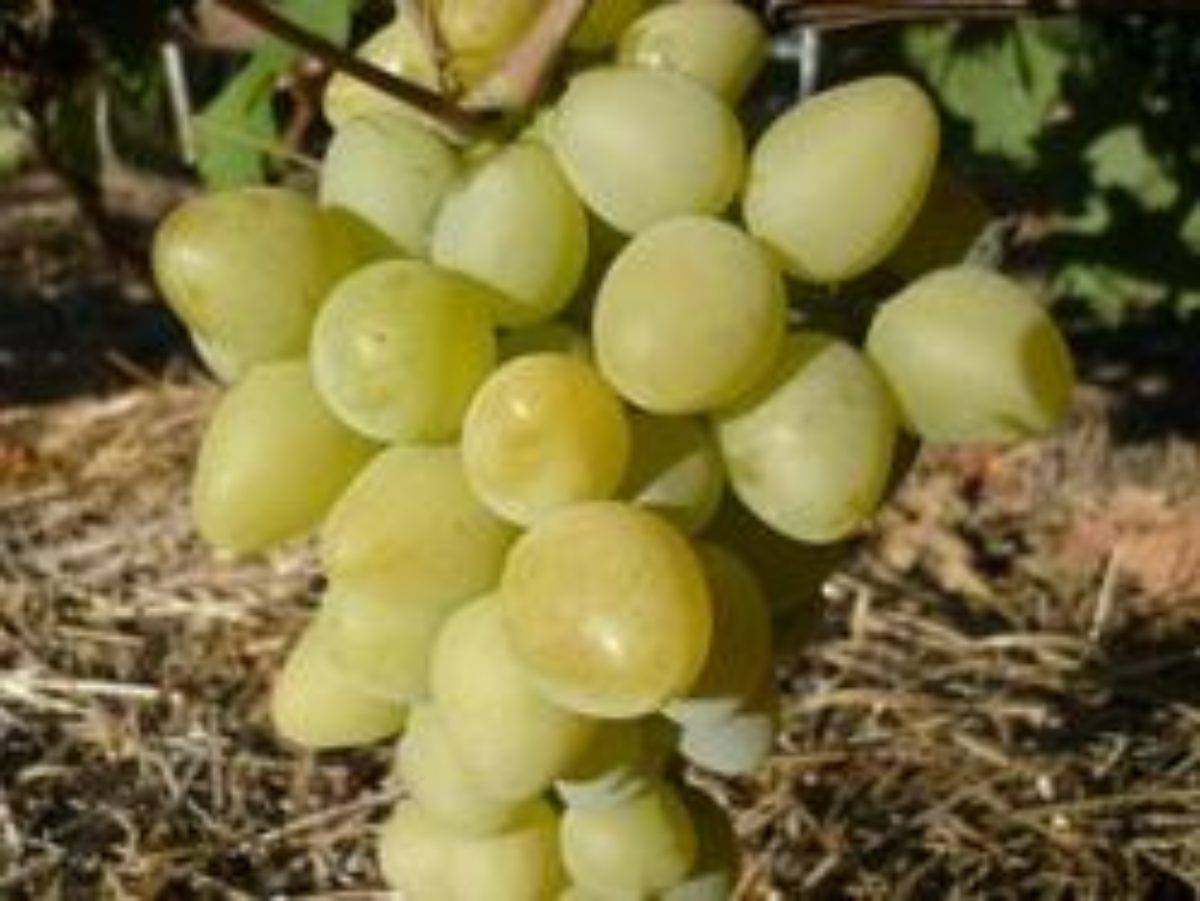 Описание сорта винограда чарли