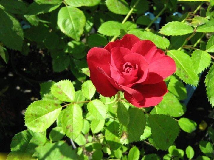 Прекрасная плетистая роза фламентанц — описание, фото цветка, правила ухода