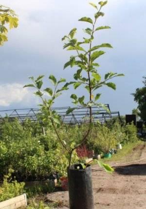 Сорта сливы для ленинградской области: выбор лучших сортов, агротехника