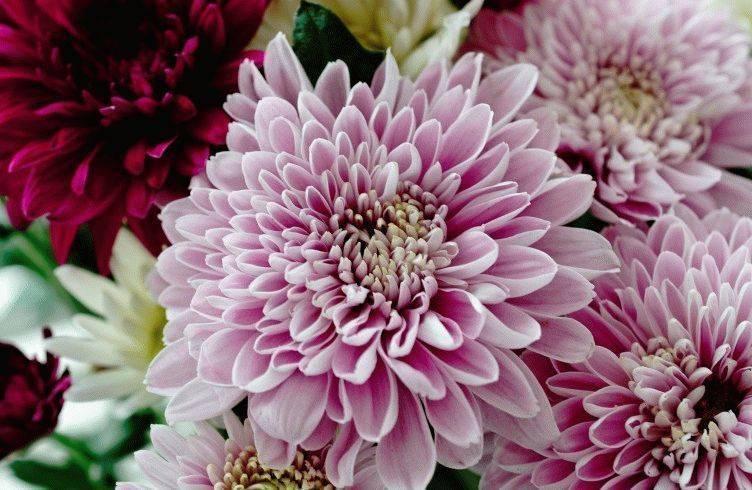 Хризантемы болезни и вредители фото