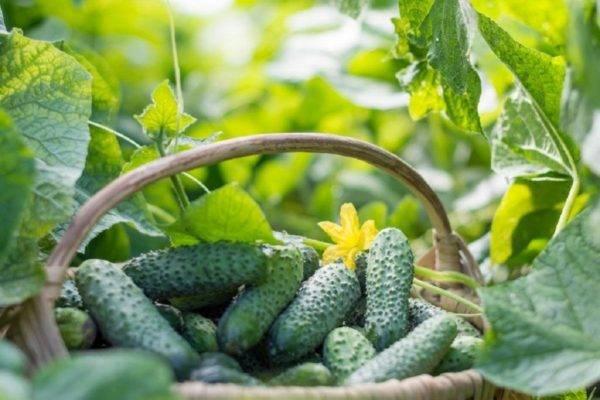 Описание сорта огурца магнат выращивание и уход