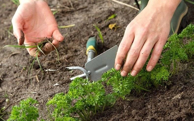 Когда сажать петрушку под зиму: плюсы и минусы посадки петрушки под зиму.