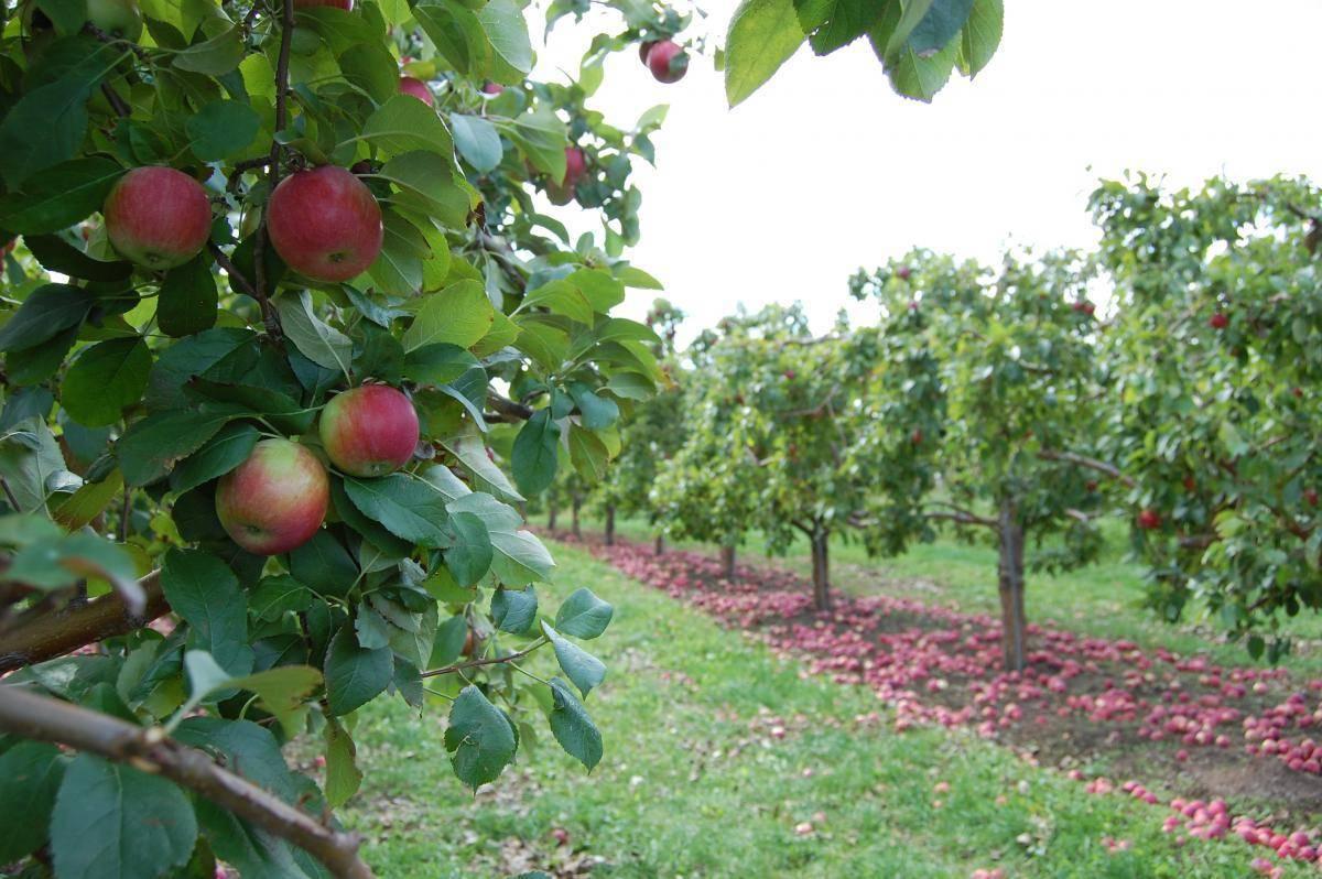 Описание яблони чудное