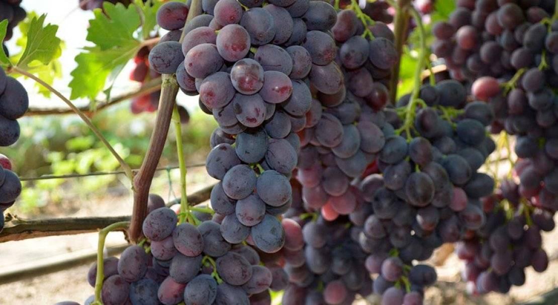 Виноград заря несветая: описание сорта, фото и отзывы садоводов