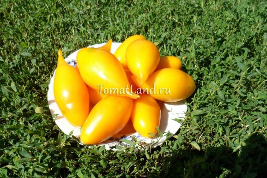 Характеристика и выращивание сорта томатов золотой