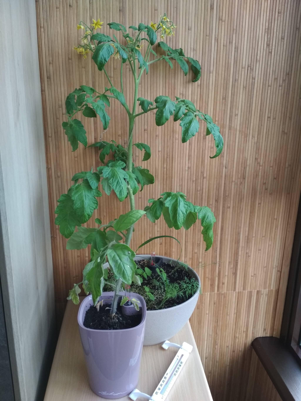 Обзор сортов томатов для выращивания в квартире
