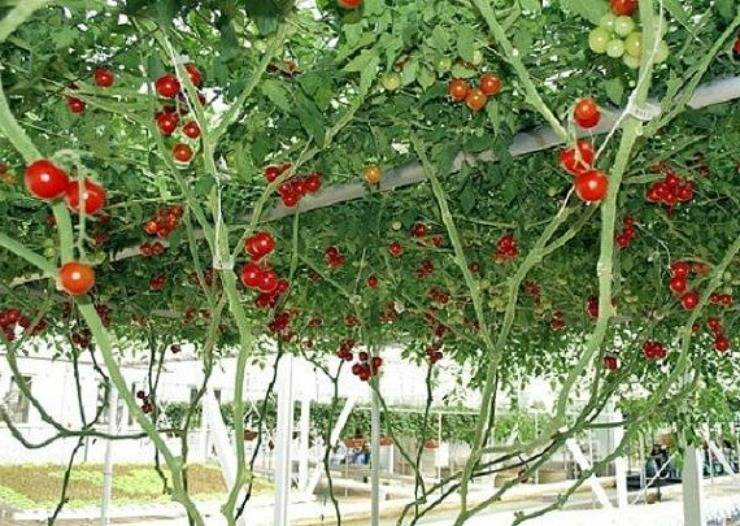 Советы по выращиванию томатов в открытом грунте