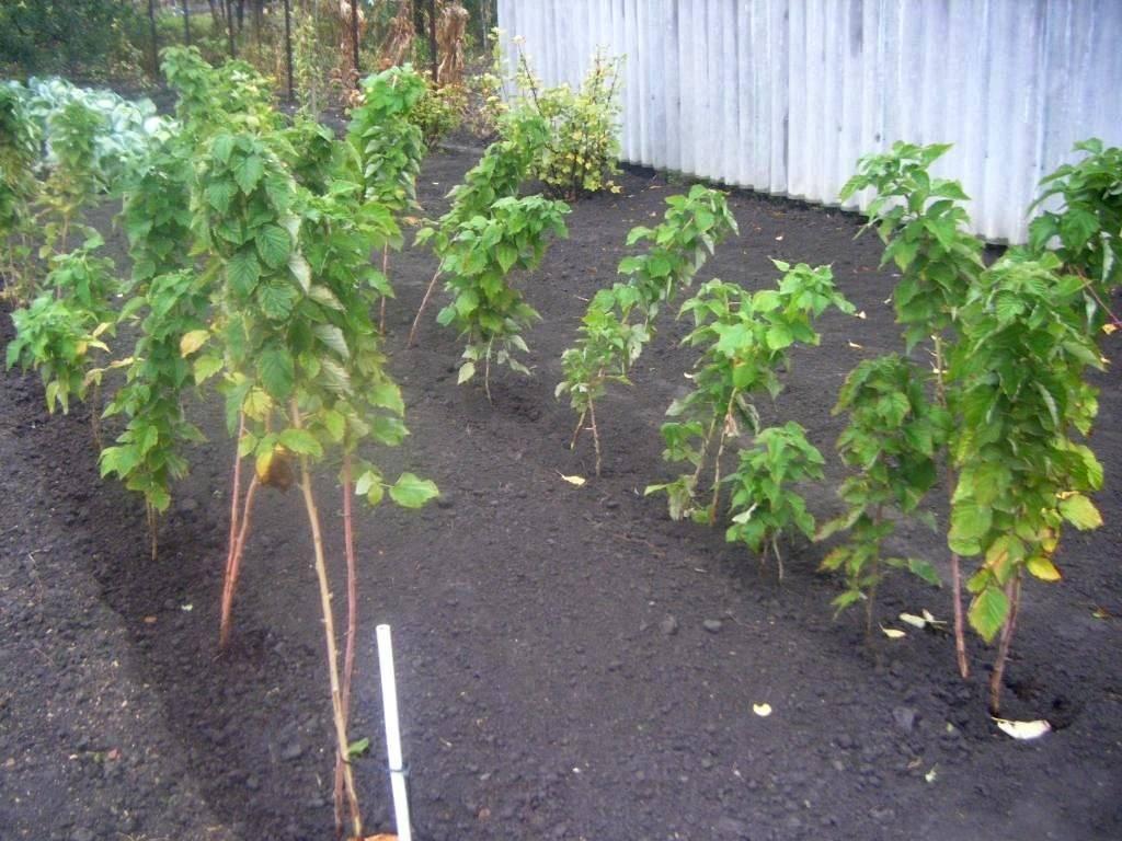 Малиновое дерево таруса — самый урожайный сорт