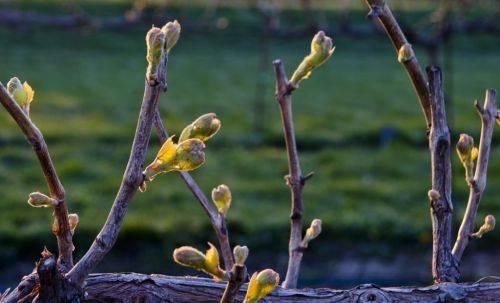 Почему в период созревания трескаются ягоды винограда и чем обработать от болезни