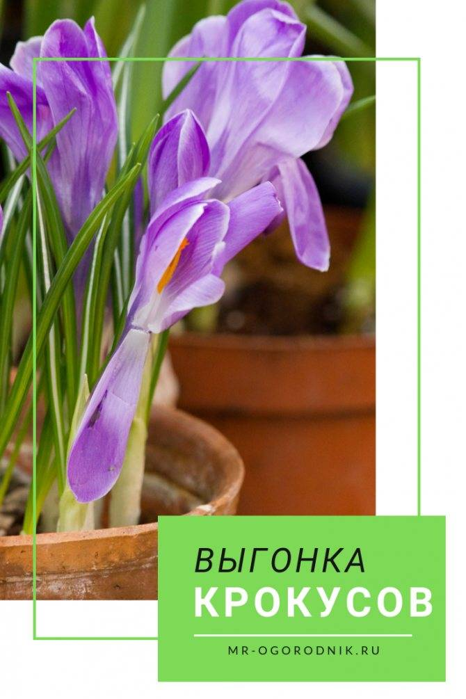 Особенности выращивания крокусов в горшке