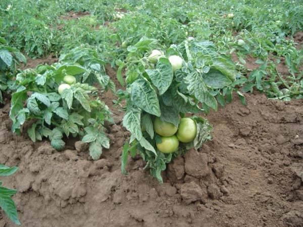Томат царь колокол — описание сорта, фото, урожайность и отзывы садоводов