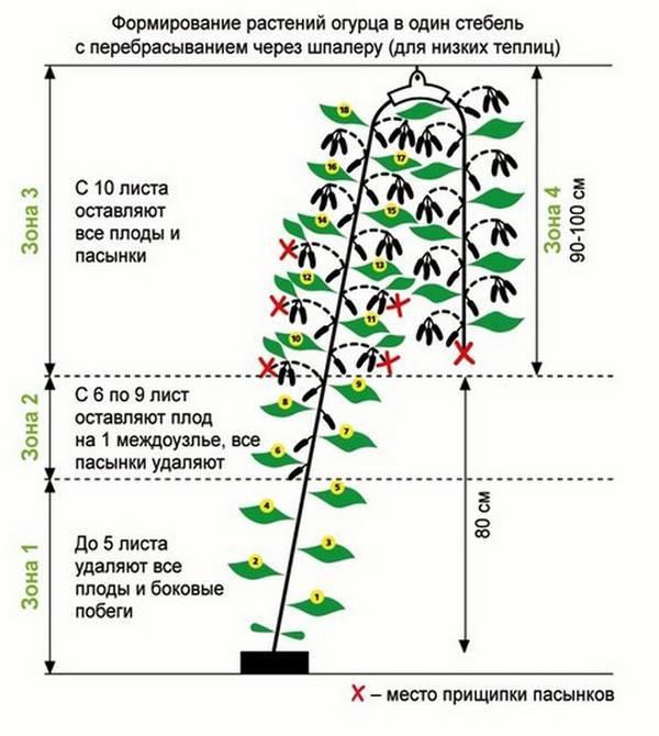 Формирование куста огурцов в один основной стебель: описание, схема, видео