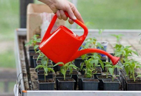 Чем подкормить рассаду помидор, чтобы были толстенькие и лучше росли
