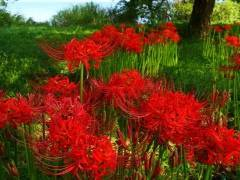 Лилии: посадка в открытый грунт и правильный уход