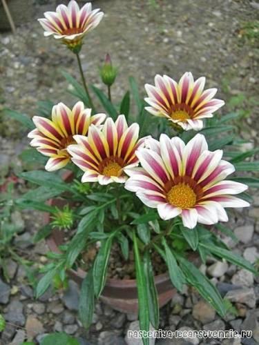 Выращивание гацании из семян, посадка и уход