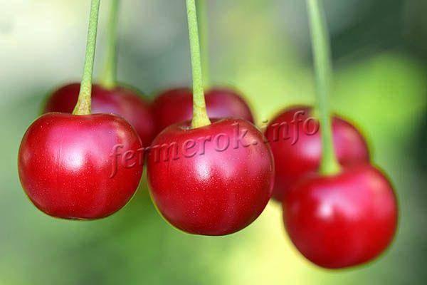 Вишня любская — особенности сорта, уход от посадки до урожая