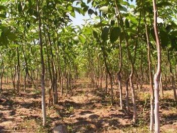 Как обрезать грецкий орех весной, летом и осенью и правила формирования кроны