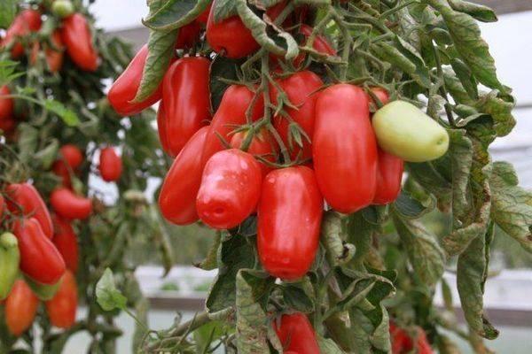 Описание сорта томата перчик, его достоинства и недостатки