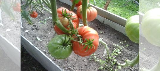 Болгарский перец — лучшие семена для открытого грунта