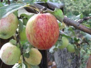 Особенности выращивания яблони ауксис