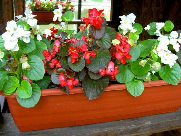 Выращивание бегонии садовой – посадка и уход
