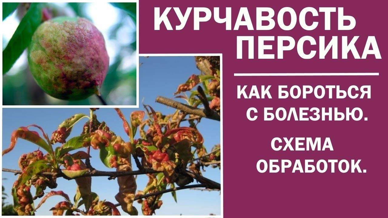 Как бороться с вредителями персика