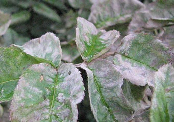 Мучнистая роса: чем обрабатывать и лечить растения, пораженные заболеванием