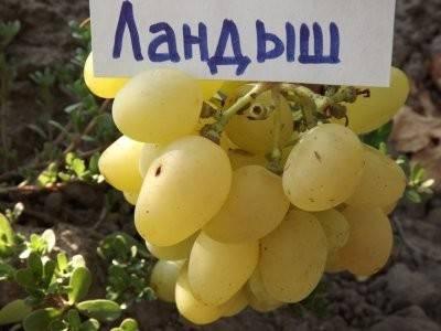 Раннеспелый сорт, простой в выращивании и уходе — виноград «забава»