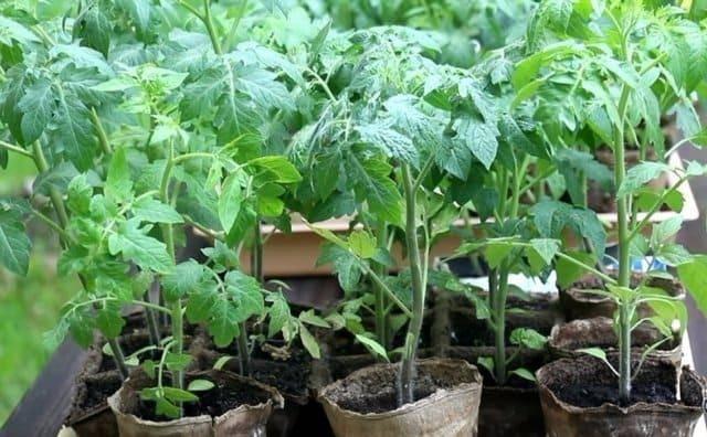 Чем подкормить рассаду помидоров до и после пикировки: минеральные и органические удобрения