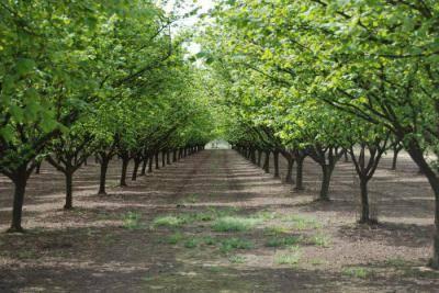 Выращивание орехов как бизнес. сорта фундука: трапезунд, кавказ и другие