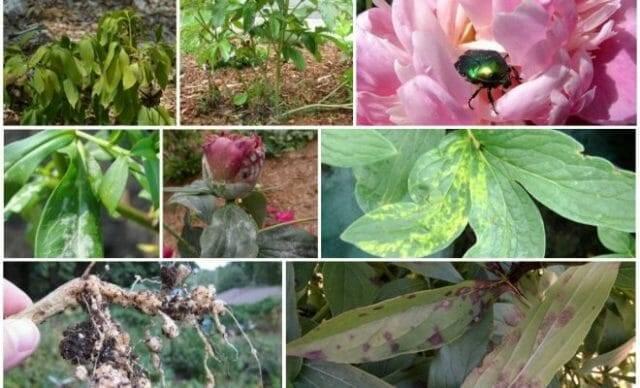 Пионы: фото болезней и вредителей, борьба с ними