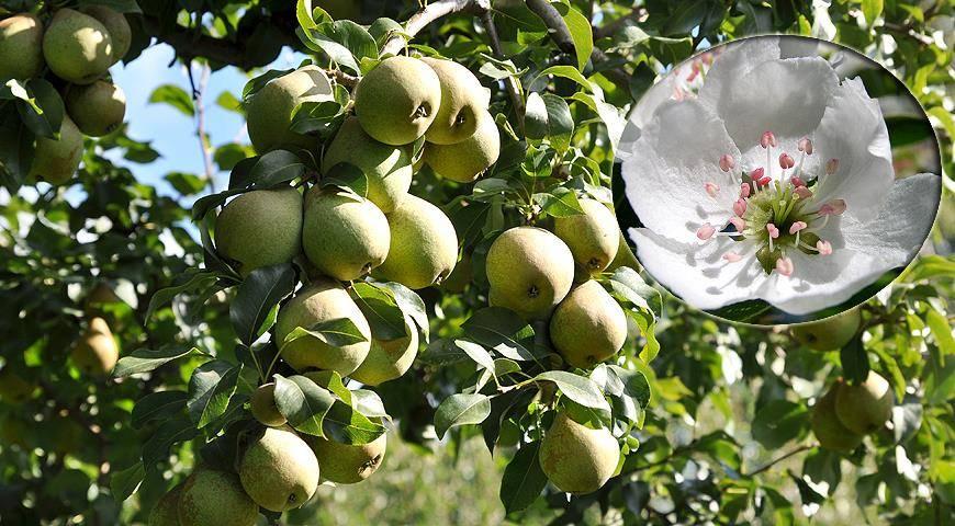 Почему яблоня сбрасывает неспелые плоды и как сберечь урожай