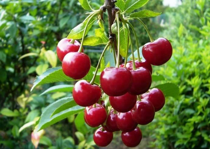 Кустовая вишня: лучшие сорта, посадка и уход