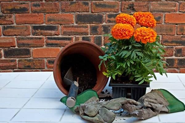 Бархатцы, или махровое чудо у вас в саду