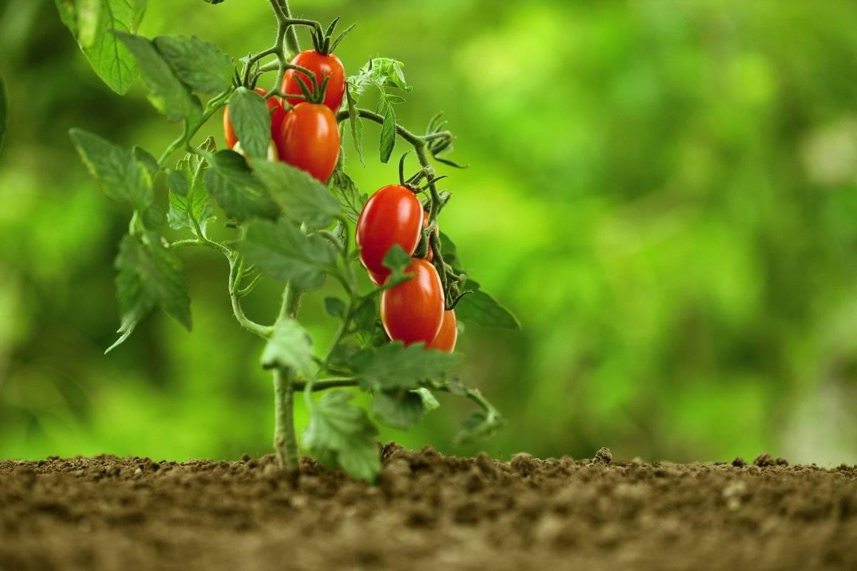 Формируем кусты правильно: пасынкуют ли низкорослые помидоры и какие сорта не требуют этого этапа