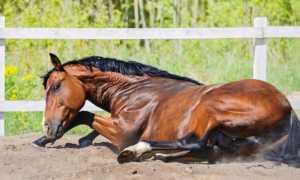 Эпизоотология и симптомы сапа у лошадей, методы лечения и профилактика