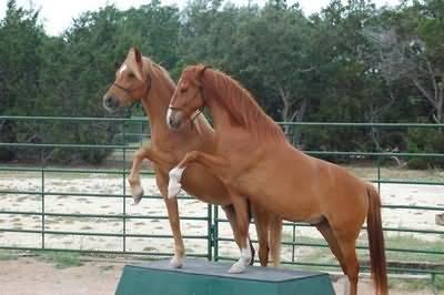 Беременность у лошади: длительность и особенности ухода